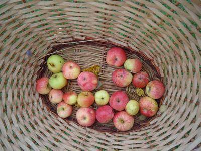 Урожай осень, яблоки