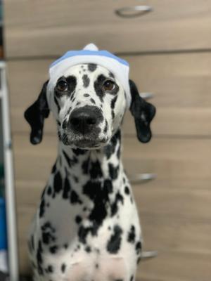 Снегуренок Далматин собака Снегурочка зима