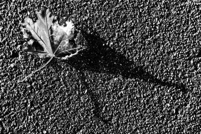 *** осень лист клен асфальт тень
