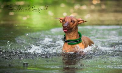 Лето ждёмс! собака Перуанская голая лето лысая Фарра