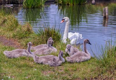 Мамочка дикие лебеди гуси-лебеди птицы водоплавающие гадкий утенок мамочка лебедята