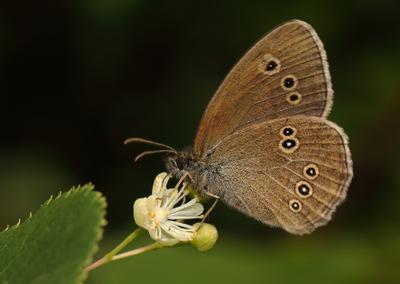 Завтрак по расписанию лето цветок бабочка бархатница