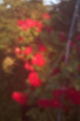 """""""Розы""""  (пинхол) розы пинхол цветы природа"""