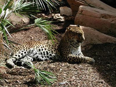 Киска гепард