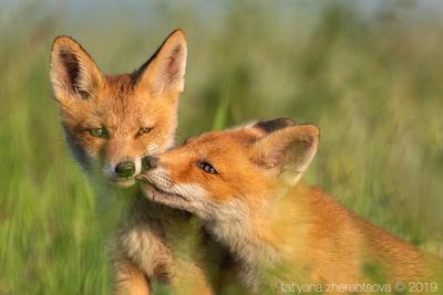 Лисята my-mriya fox