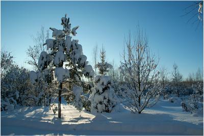 Зимнее утро Зима снег сосна ель дуб