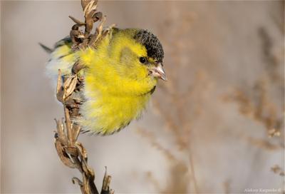 Морозный чиж чиж птица фотоохота wildlife