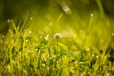 начало нового дня солнце свет утро роса трава клевер боке