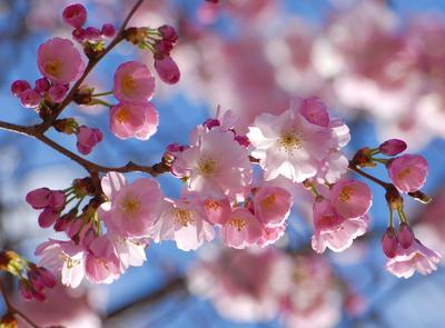 Веточка радости розовые цветы весна радость