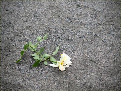 Растоптали... Роза земля