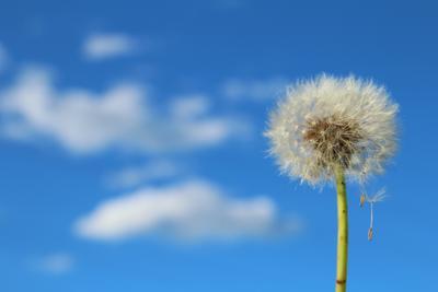 Ожидание ветра одуванчик небо голубое облака весна