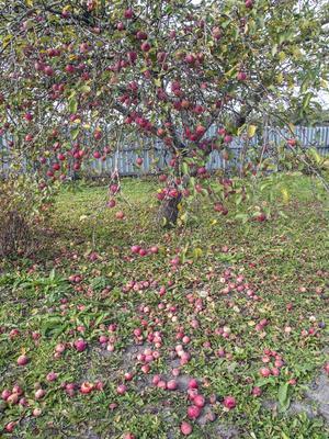 Яблоня яблоня осень октябрь