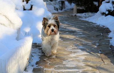 Дина. Бивер собаки зима