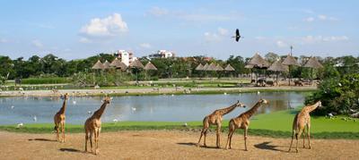 В Сафари парке сафари парк жирафы бангкок пруд