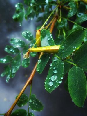 Опять дожди... дождь капли листья