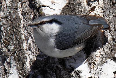 Поползень птицы фотоохота природа