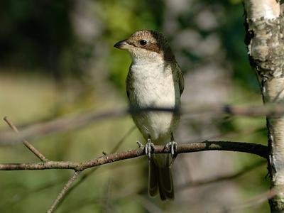 Жулан обыкновенный Россия Московская область Суханово птица природа жулан обыкновенный