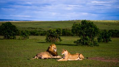 Про Барсика и Мурку Кения Масаи Мара Masai Mara