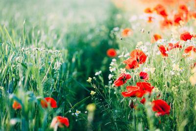 *** лето маки поле