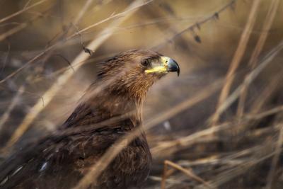 Большой Подорлик Большой Подорлик Хищник птица Bird