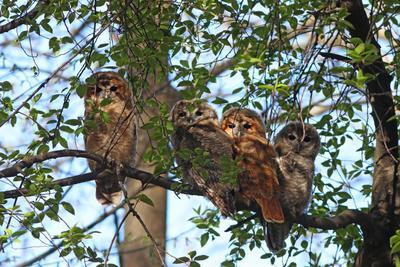 Четверо из дупла Серая неясыть Strix aluco Tawny owl