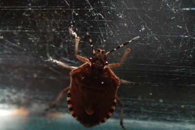 Лесной клоп на стекле насекомые макро
