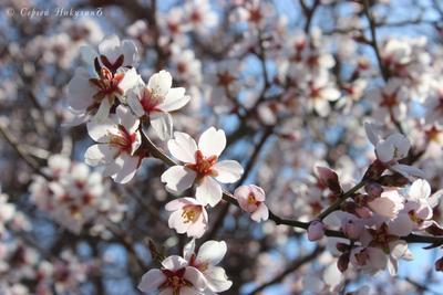 Миндаль цветёт миндаль цветущий весна Крым Мама Русская цветы