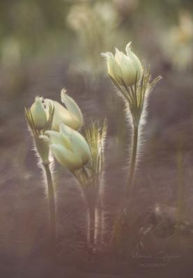 Просто сон ... просто трава ... первоцвет сот-трава цветы