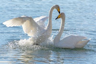 Чувства... Лебеди-кликуны на Бие