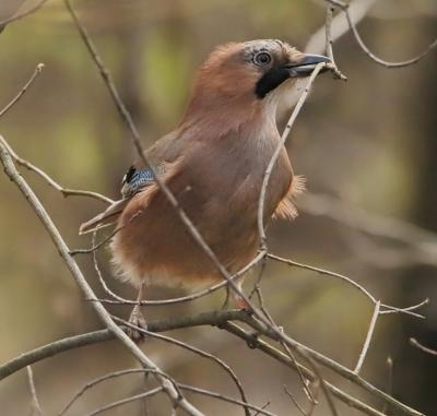 Сойка сойка птица