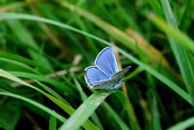 голубое чудо бабочка лето трава нежность макро насекомое легкость природа