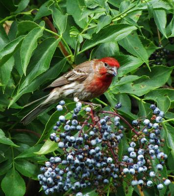 Мексиканская чечевица (самец) мексиканская чечевица птица house finch haemorhous mexicanus fringillidae bird