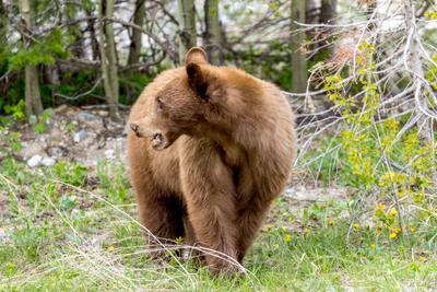 Винни Пух Alberta Waterton bear медведь Альберта