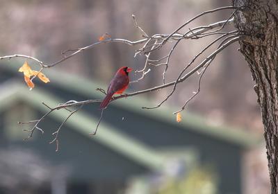 """""""Когда ты знаешь,что под солнцем есть крыша дома твоего..."""" животные птицы пернатые кардинал цапли"""