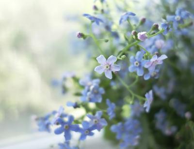 Бруннера - голубое чудо цветы бруннера лето букет
