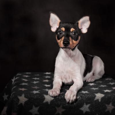 Тойфокстерьер. собака тойфокс амертой портрет щенок