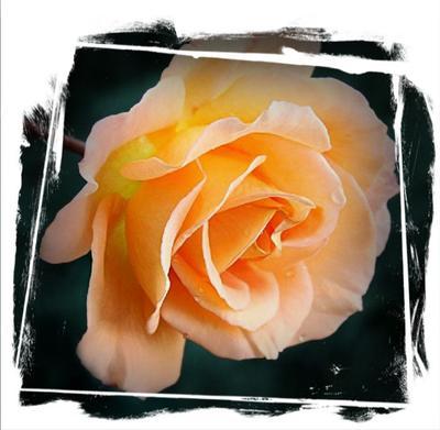 *** rose