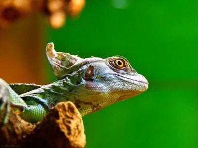 *** ящерица игуана зоопарк животное