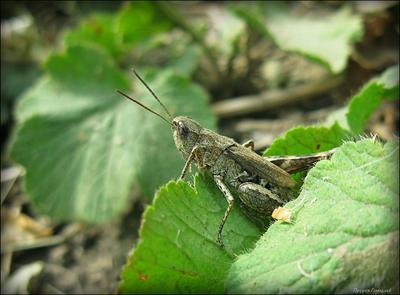 Расчет прыжка кузнец макро усы насекомые прыжок лапы лист