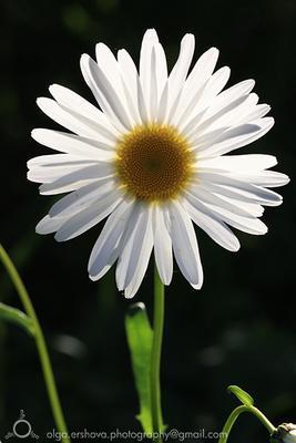 Ромашка цветок