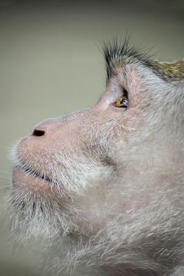 Monkey обезьяна monkey