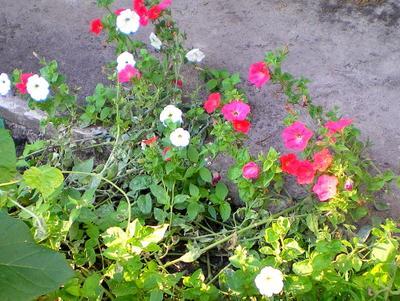 Кусочек уходящего лета петунья цветы