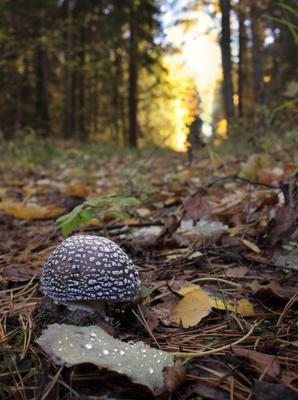 Возле леса на опушке... мухомор лес