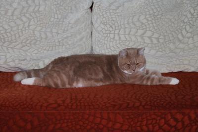 Важный парень Шотландские кошки кот домашние животные