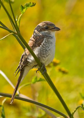 Сорокопут-жулан или обыкновенный жулан Птица лето растение куст