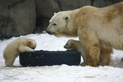 Автошкола. Уровень - ясли. медведь медвежонок колесо мех нос уши снег
