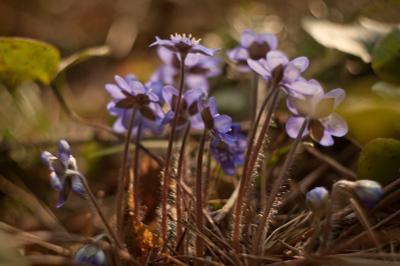 *** цветы лес весна природа певоцветы перелески печеночница