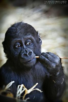 Baby Gorilla Baby Gorilla