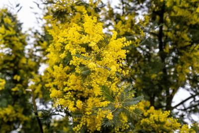 Мимоза цветет! Мимоза весна Сочи горы