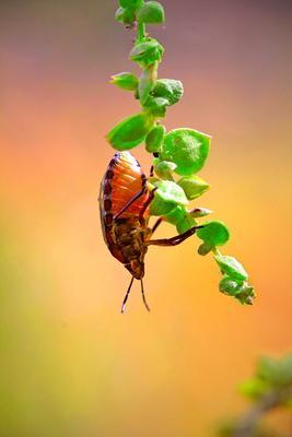 вверх тормашками макро макрофото клоп насекомые вверх ногами